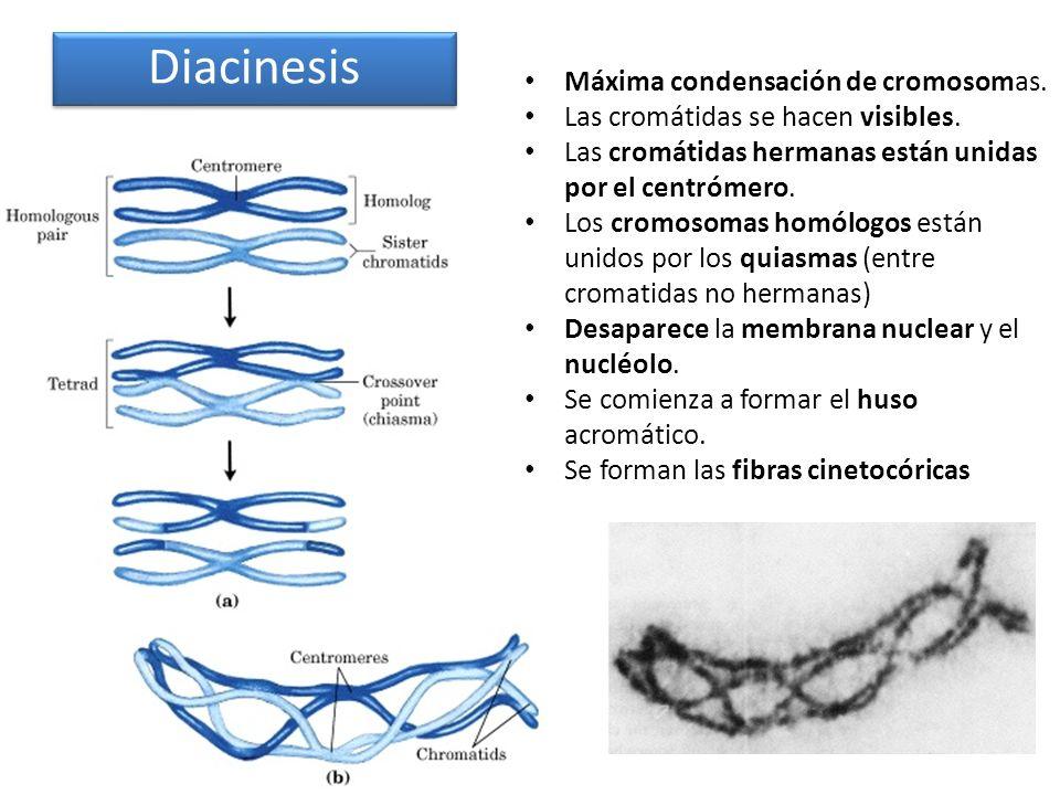 Diacinesis Máxima condensación de cromosomas. Las cromátidas se hacen visibles. Las cromátidas hermanas están unidas por el centrómero. Los cromosomas