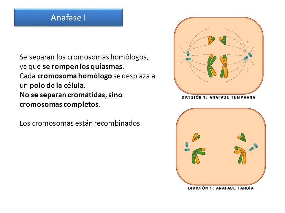 Anafase I Se separan los cromosomas homólogos, ya que se rompen los quiasmas. Cada cromosoma homólogo se desplaza a un polo de la célula. No se separa