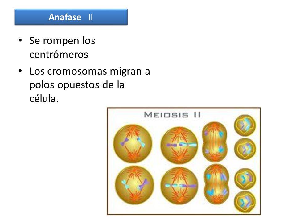 Se rompen los centrómeros Los cromosomas migran a polos opuestos de la célula. Anafase II