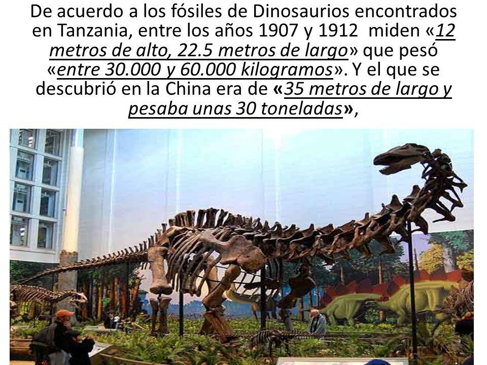 De acuerdo a los fósiles de Dinosaurios encontrados en Tanzania, entre los años 1907 y 1912 miden «12 metros de alto, 22.5 metros de largo» que pesó «