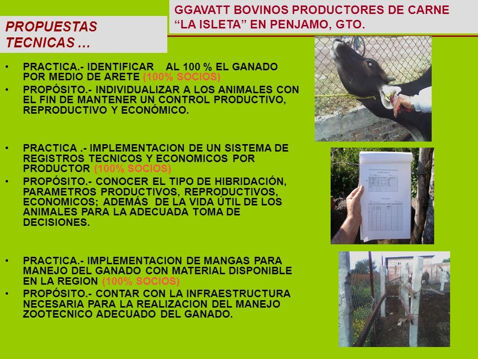 PROPUESTAS TECNICAS … PRACTICA.- IDENTIFICAR AL 100 % EL GANADO POR MEDIO DE ARETE (100% SOCIOS) PROPÓSITO.- INDIVIDUALIZAR A LOS ANIMALES CON EL FIN DE MANTENER UN CONTROL PRODUCTIVO, REPRODUCTIVO Y ECONÓMICO.