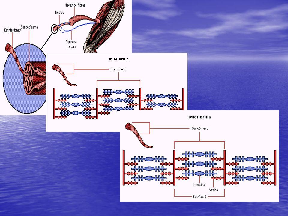 CARACTERÍSTICA TIPO I (lenta oxidativa) TIPO IIa (rápida glucolítica oxidativa) TIPO IIb (rápida glucolítica) DIAMETROPequeñoGrande COLORRojo intensoRosadoBlanco MIOGLOBINAMuchaPocaMuy poca MIOFIBRILLASPocasIntermediasMuchas CAPILARIZACIÓNImportanteIntermediaPobre MOTONEURONAPequeña (alfa 1)Grande (alfa 2) DESCARGA NERVIOSA Tónica (100 a 120ms) Intermedia Fásica (40 a 50ms) PROPIEDAD CONTRACTIL Tensión baja Duración alta Intermedia Tensión alta Duración baja VIA METABOLICA PREDOMINANTE Oxidación aeróbica (mitocondrial) Glucólisis aeróbica y anaeróbica Glucólisis anaeróbica FATIGABILIDADPoco fatigableFatigableMuy fatigable MITOCONDRIASMuchas y grandesIntermediasPocas y pequeñas (SDH) ENZIMA OXIDATIVA Muy elevadaAltaBaja (FPK) ENZIMA GLUCOLÍTICA Baja Intermedia Alta