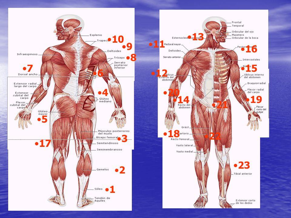 Aspectos de la eficiencia muscular: Morfología muscular Fusiforme Penniformes