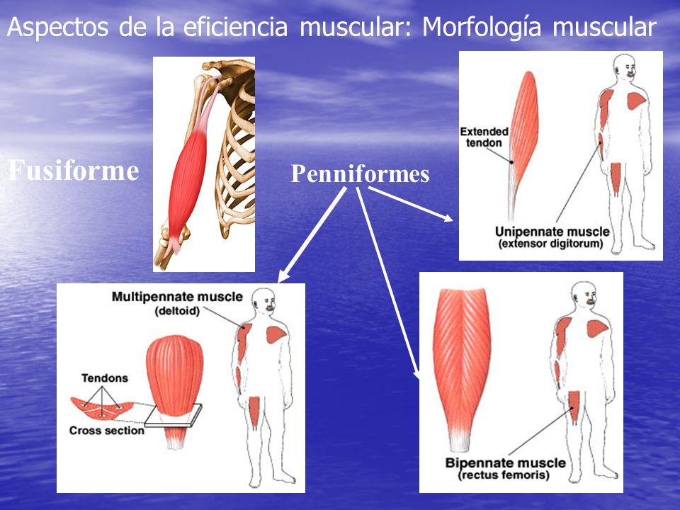Músculos con tendencia a contracturarse Músculos con tendencia a debilitarse Tríceps suralTibial anterior IsquiotibialesGlúteo mayor Aductores de caderaGlúteo mediano Recto anterior femoralRecto mayor del abdomen Tensor de la fascia lataTrapecio inferior PsoasTrapecio medio Erector espinosoEscaleno Cuadrado lumbarLargo del cuello PectoralDeltoides Trapecio superiorDigástrico