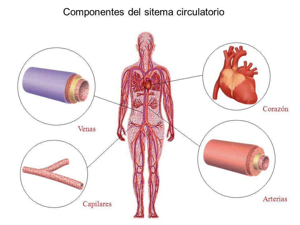Componentes del sitema circulatorio Corazón Venas Capilares Arterias
