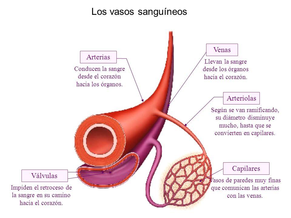 Los vasos sanguíneos Capilares Arterias Venas Válvulas Conducen la sangre desde el corazón hacia los órganos.