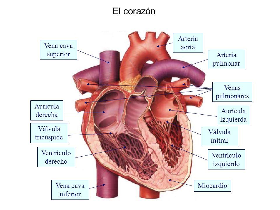El corazón Aurícula derecha Ventrículo izquierdo Ventrículo derecho Arteria pulmonar Aurícula izquierda Miocardio Arteria aorta Vena cava superior Vena cava inferior Venas pulmonares Válvula tricúspide Válvula mitral