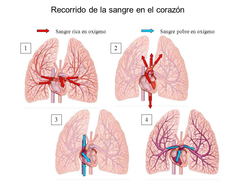 Recorrido de la sangre en el corazón Sangre rica en oxígenoSangre pobre en oxígeno 12 34