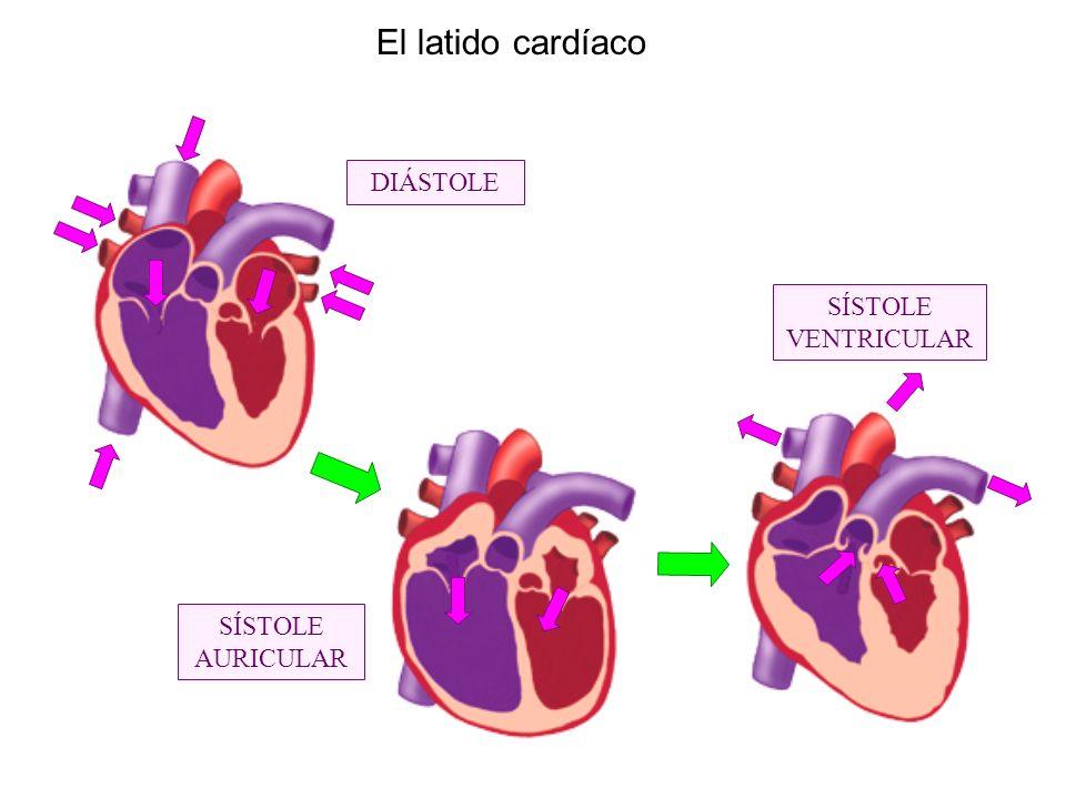 El latido cardíaco DIÁSTOLE SÍSTOLE AURICULAR SÍSTOLE VENTRICULAR