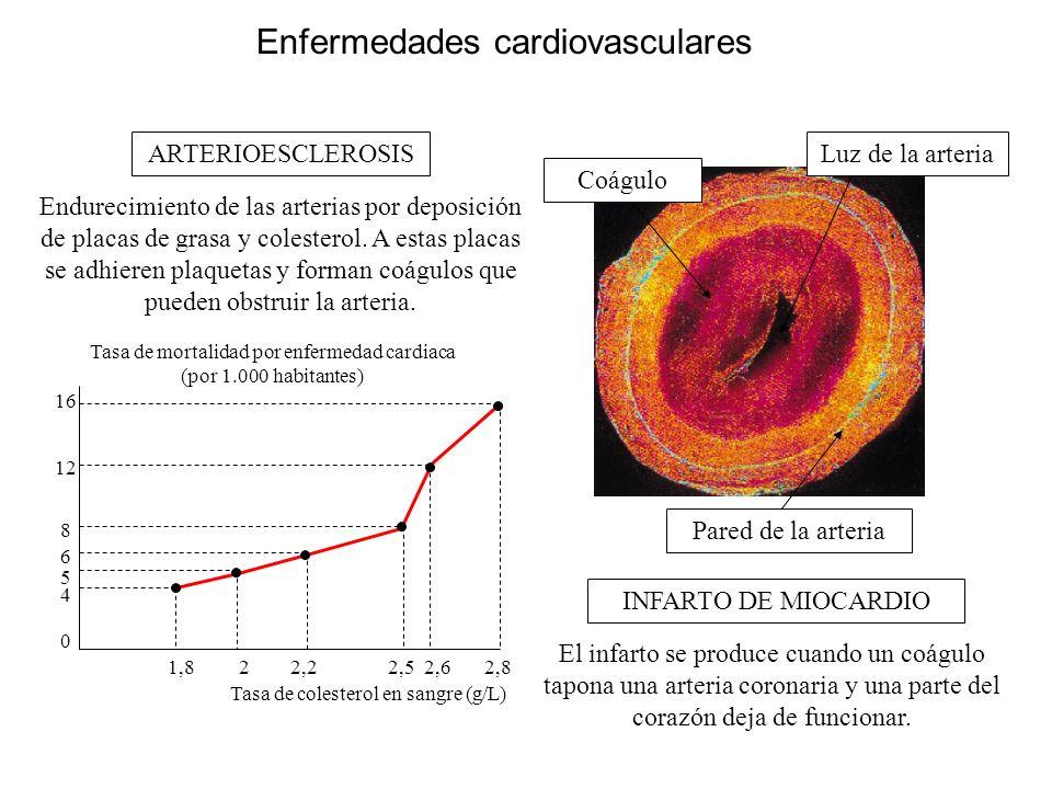Enfermedades cardiovasculares Tasa de mortalidad por enfermedad cardiaca (por 1.000 habitantes) Tasa de colesterol en sangre (g/L) 16 12 8 6 5 4 0 1,8 2 2,2 2,5 2,6 2,8 Luz de la arteria Coágulo Pared de la arteria ARTERIOESCLEROSIS INFARTO DE MIOCARDIO Endurecimiento de las arterias por deposición de placas de grasa y colesterol.
