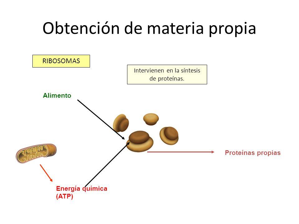 Obtención de materia propia RIBOSOMAS Intervienen en la síntesis de proteínas. Energía química (ATP) Alimento Proteínas propias