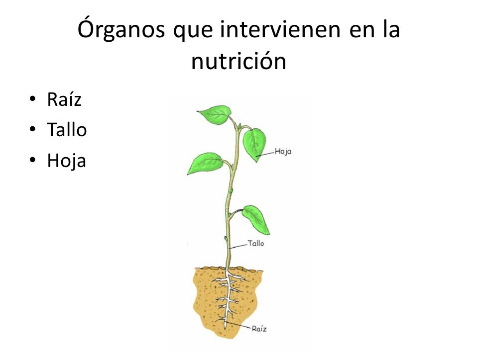 Órganos que intervienen en la nutrición Raíz Tallo Hoja