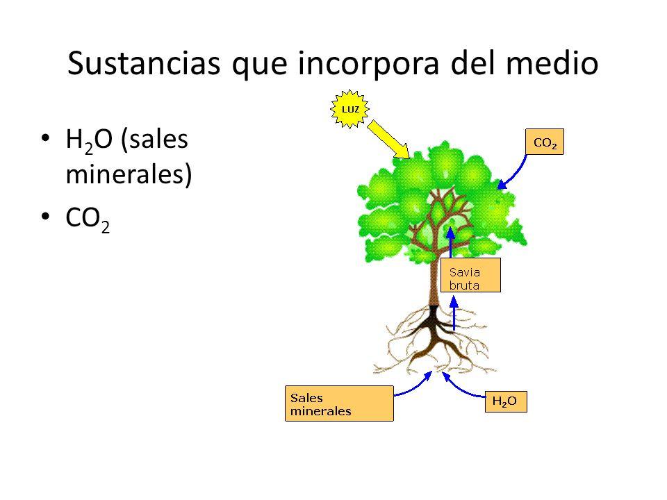 Sustancias que incorpora del medio H 2 O (sales minerales) CO 2