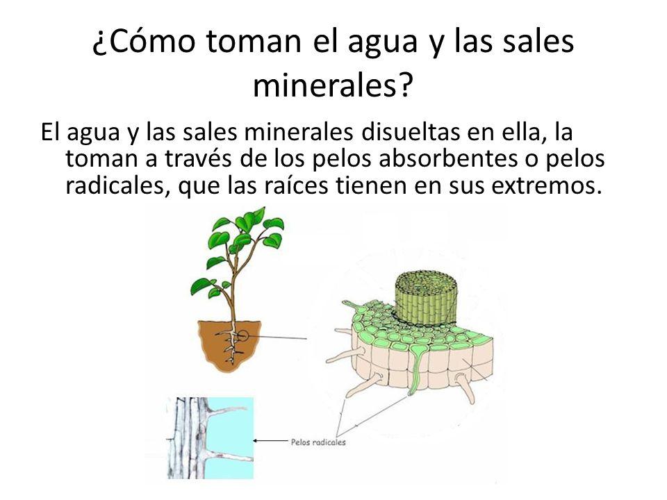 ¿Cómo toman el agua y las sales minerales? El agua y las sales minerales disueltas en ella, la toman a través de los pelos absorbentes o pelos radical