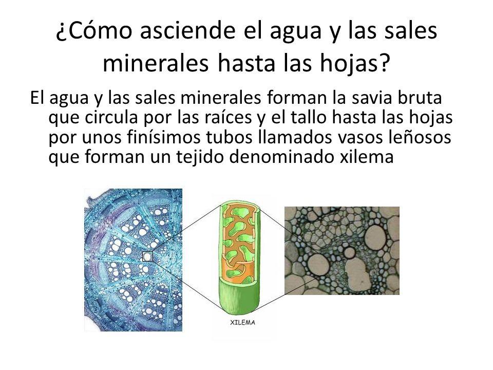 ¿Cómo asciende el agua y las sales minerales hasta las hojas? El agua y las sales minerales forman la savia bruta que circula por las raíces y el tall