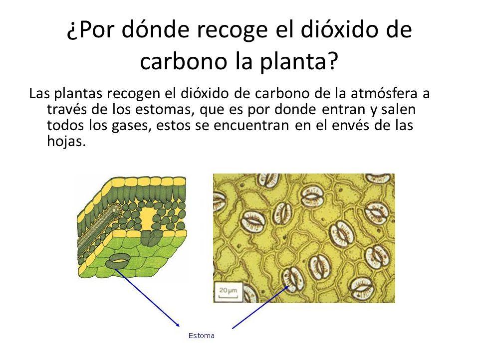 ¿Por dónde recoge el dióxido de carbono la planta? Las plantas recogen el dióxido de carbono de la atmósfera a través de los estomas, que es por donde