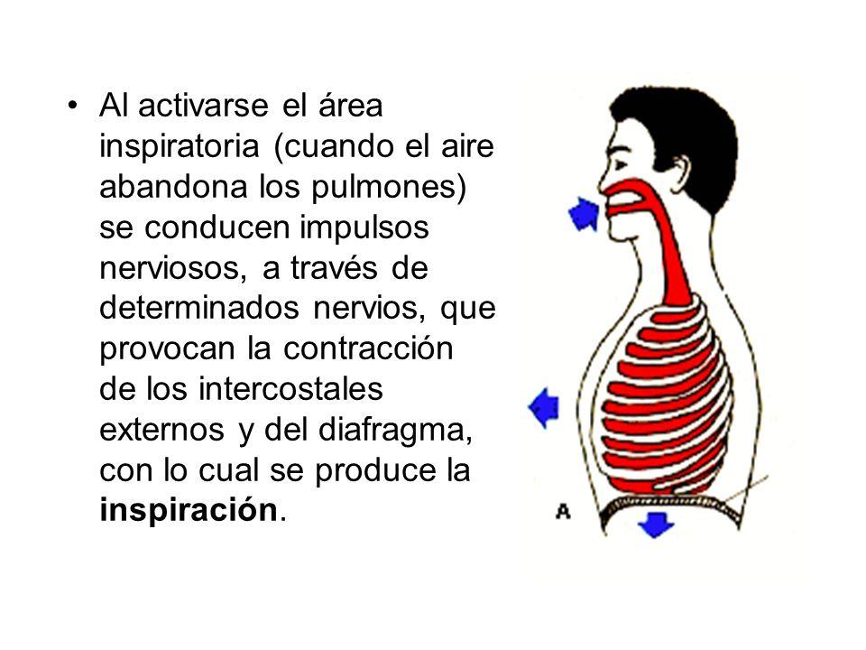 Al activarse el área inspiratoria (cuando el aire abandona los pulmones) se conducen impulsos nerviosos, a través de determinados nervios, que provoca
