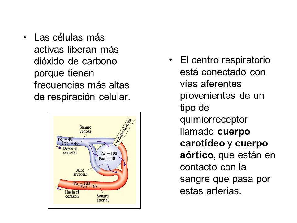 Las células más activas liberan más dióxido de carbono porque tienen frecuencias más altas de respiración celular. El centro respiratorio está conecta