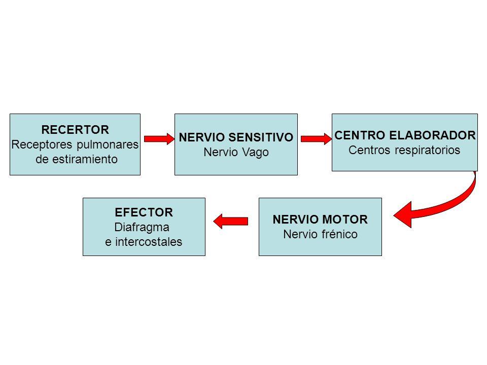 RECERTOR Receptores pulmonares de estiramiento NERVIO MOTOR Nervio frénico NERVIO SENSITIVO Nervio Vago CENTRO ELABORADOR Centros respiratorios EFECTO