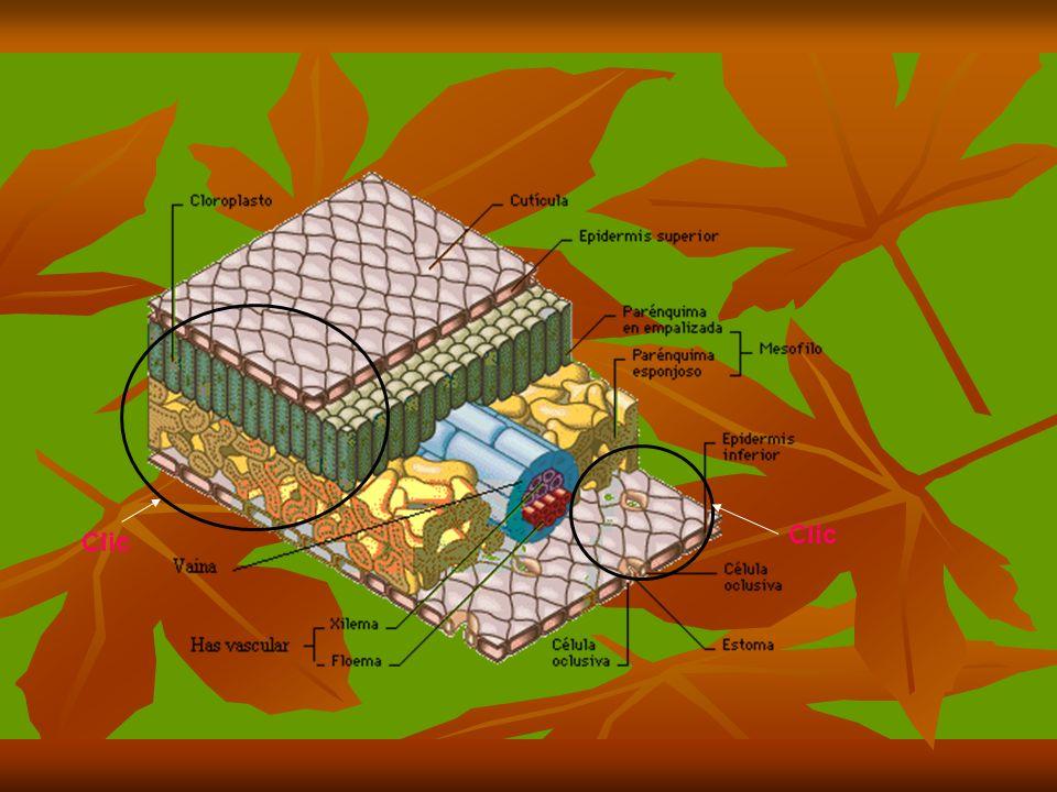 Cloroplastos los cloroplastos los cuales captan la luz por medio de los pigmentos que se encuentran en los tilacoides.