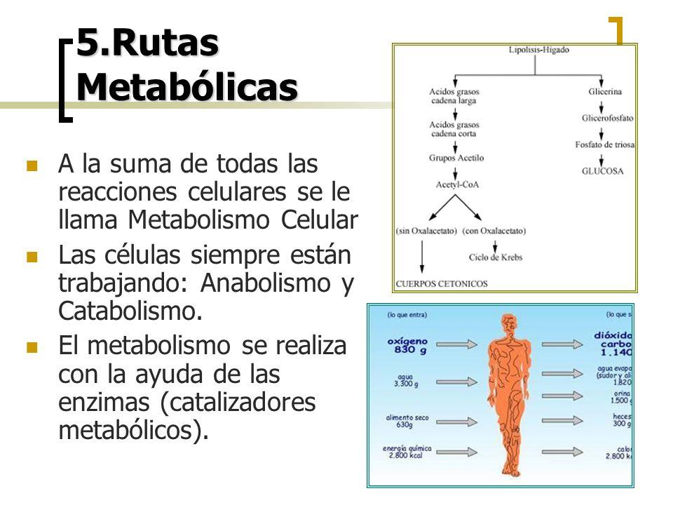 5.Rutas Metabólicas A la suma de todas las reacciones celulares se le llama Metabolismo Celular Las células siempre están trabajando: Anabolismo y Cat