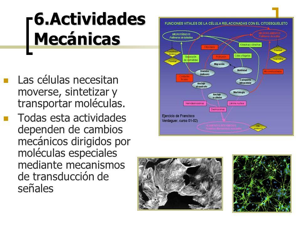 6.Actividades Mecánicas Las células necesitan moverse, sintetizar y transportar moléculas. Todas esta actividades dependen de cambios mecánicos dirigi