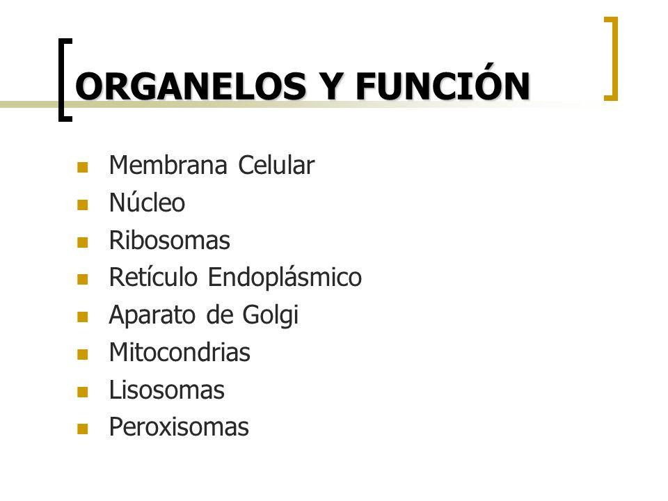 ORGANELOS Y FUNCIÓN Membrana Celular Núcleo Ribosomas Retículo Endoplásmico Aparato de Golgi Mitocondrias Lisosomas Peroxisomas