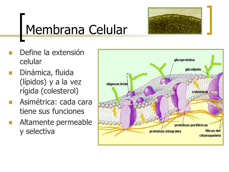 Membrana Celular Define la extensión celular Dinámica, fluida (lípidos) y a la vez rígida (colesterol) Asimétrica: cada cara tiene sus funciones Altam