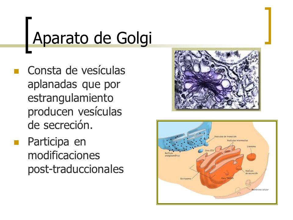 Aparato de Golgi Consta de vesículas aplanadas que por estrangulamiento producen vesículas de secreción. Participa en modificaciones post-traduccional