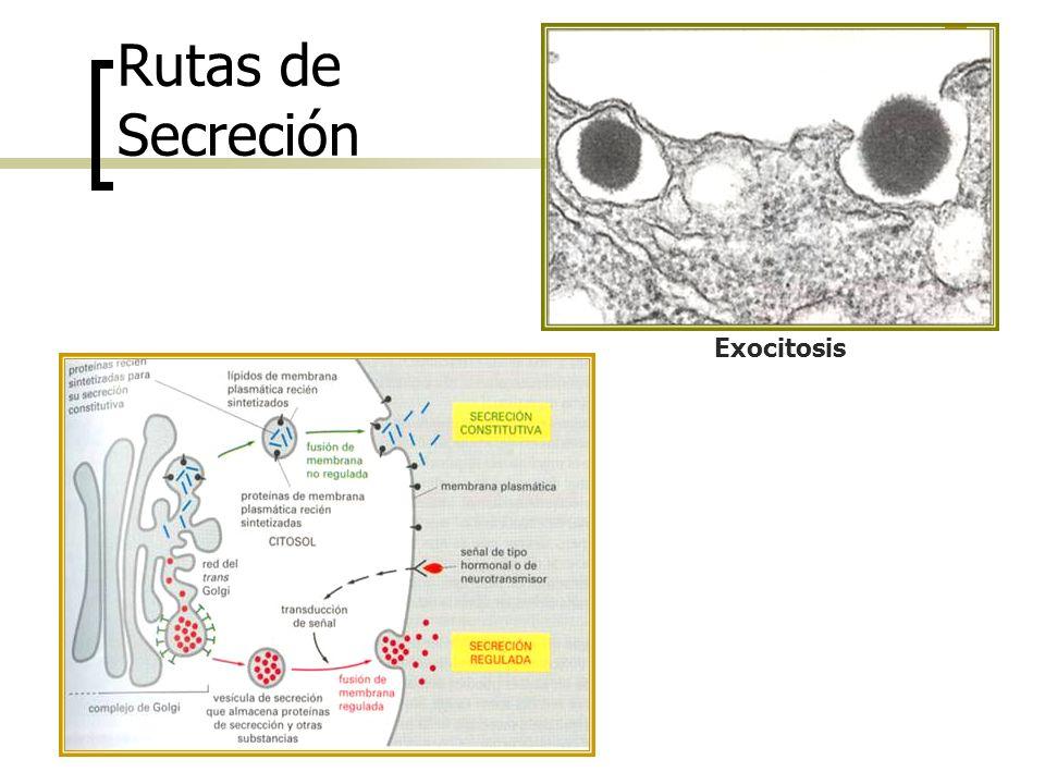 Rutas de Secreción Exocitosis
