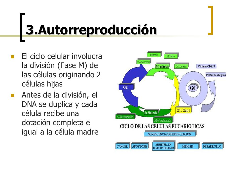 3.Autorreproducción El ciclo celular involucra la división (Fase M) de las células originando 2 células hijas Antes de la división, el DNA se duplica