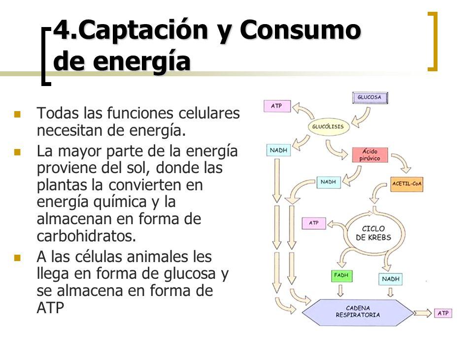 4.Captación y Consumo de energía Todas las funciones celulares necesitan de energía. La mayor parte de la energía proviene del sol, donde las plantas