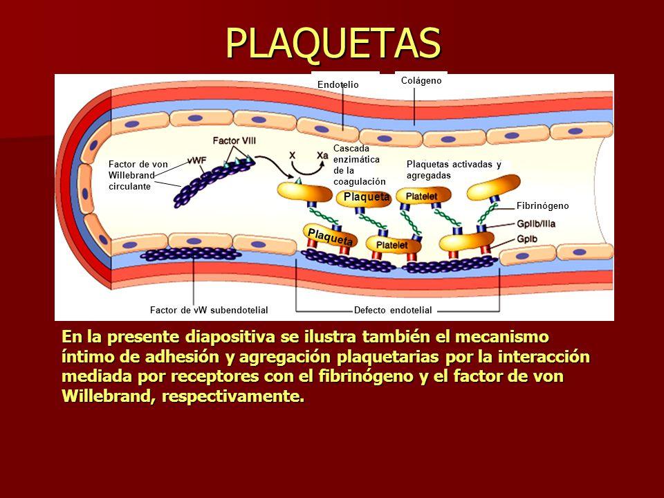 PLAQUETAS En la presente diapositiva se ilustra también el mecanismo íntimo de adhesión y agregación plaquetarias por la interacción mediada por recep