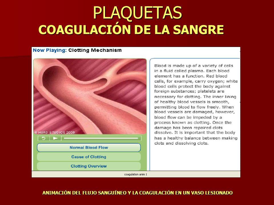 PLAQUETAS COAGULACIÓN DE LA SANGRE ANIMACIÓN DEL FLUJO SANGUÍNEO Y LA COAGULACIÓN EN UN VASO LESIONADO