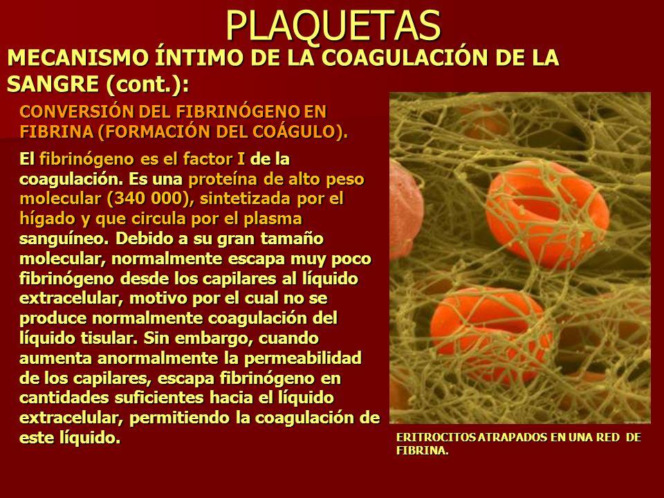 PLAQUETAS MECANISMO ÍNTIMO DE LA COAGULACIÓN DE LA SANGRE (cont.): CONVERSIÓN DEL FIBRINÓGENO EN FIBRINA (FORMACIÓN DEL COÁGULO). El fibrinógeno es el