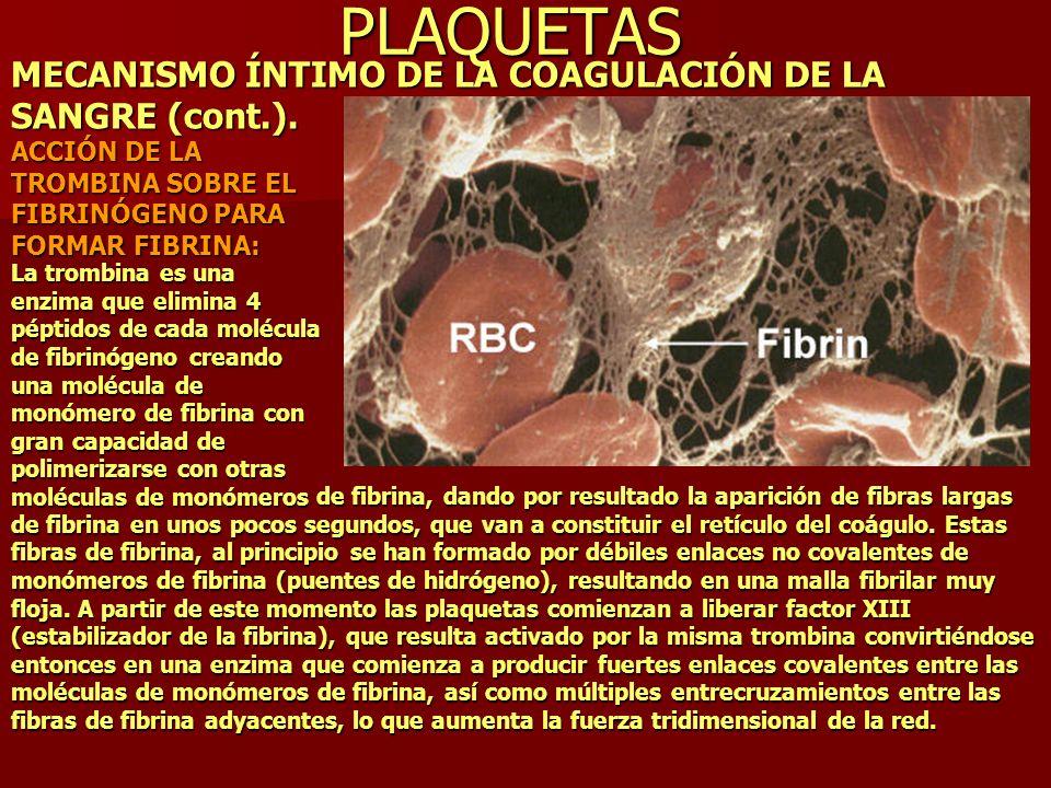 PLAQUETAS MECANISMO ÍNTIMO DE LA COAGULACIÓN DE LA SANGRE (cont.). ACCIÓN DE LA TROMBINA SOBRE EL FIBRINÓGENO PARA FORMAR FIBRINA: La trombina es una