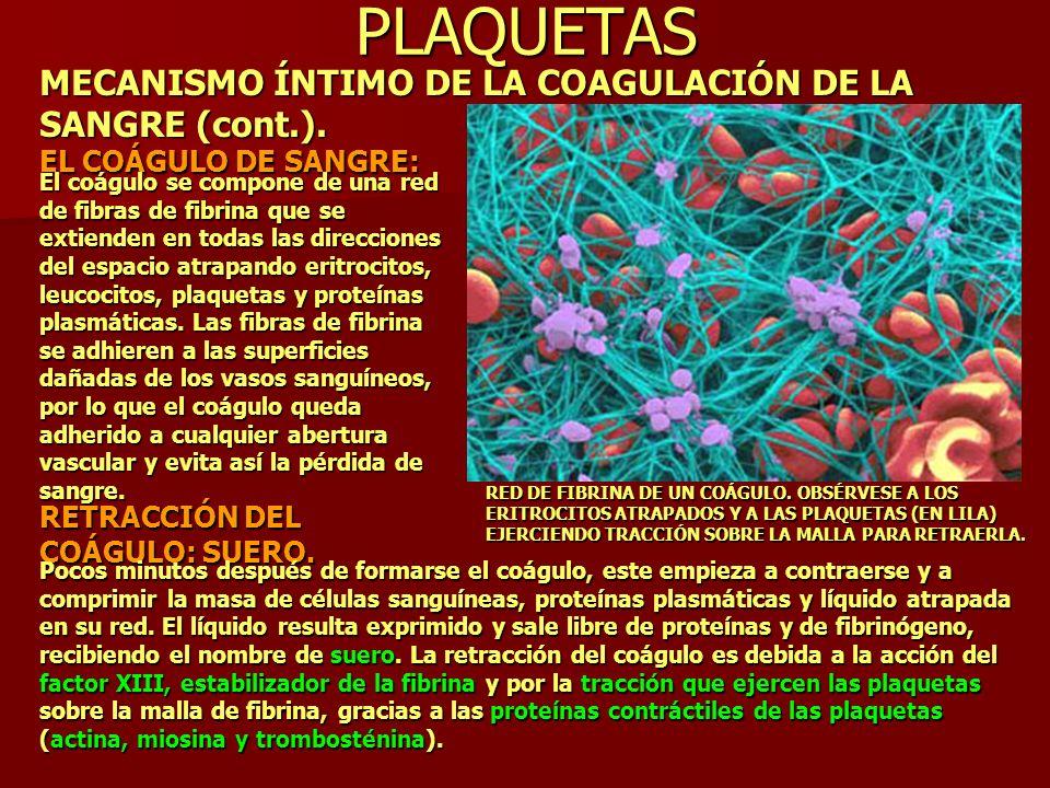 PLAQUETAS MECANISMO ÍNTIMO DE LA COAGULACIÓN DE LA SANGRE (cont.). EL COÁGULO DE SANGRE: El coágulo se compone de una red de fibras de fibrina que se