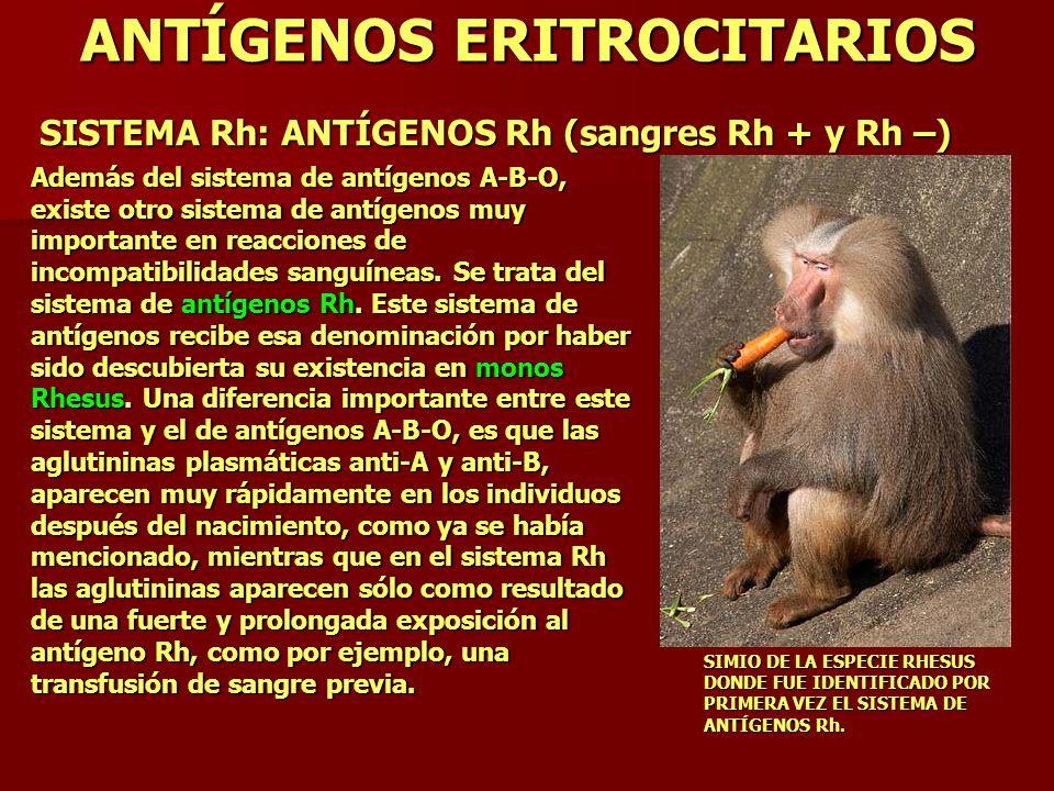 ANTÍGENOS ERITROCITARIOS SISTEMA Rh: ANTÍGENOS Rh (sangres Rh + y Rh –) Además del sistema de antígenos A-B-O, existe otro sistema de antígenos muy im