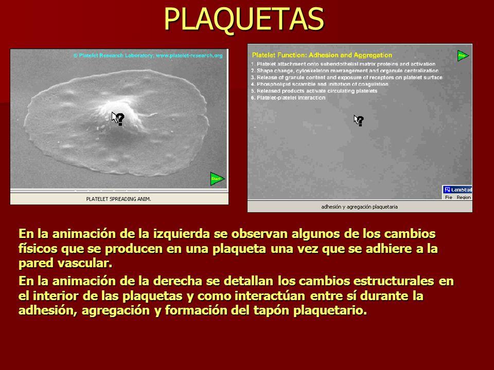 PLAQUETAS En la animación de la izquierda se observan algunos de los cambios físicos que se producen en una plaqueta una vez que se adhiere a la pared