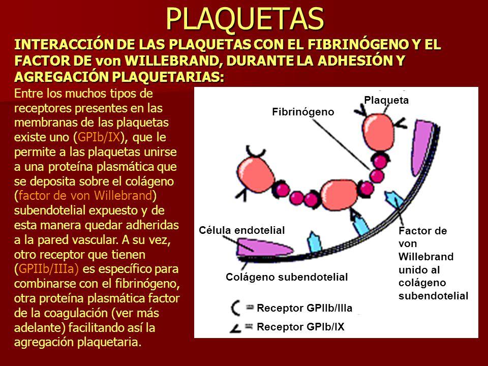 PLAQUETAS En la presente diapositiva se ilustra también el mecanismo íntimo de adhesión y agregación plaquetarias por la interacción mediada por receptores con el fibrinógeno y el factor de von Willebrand, respectivamente.