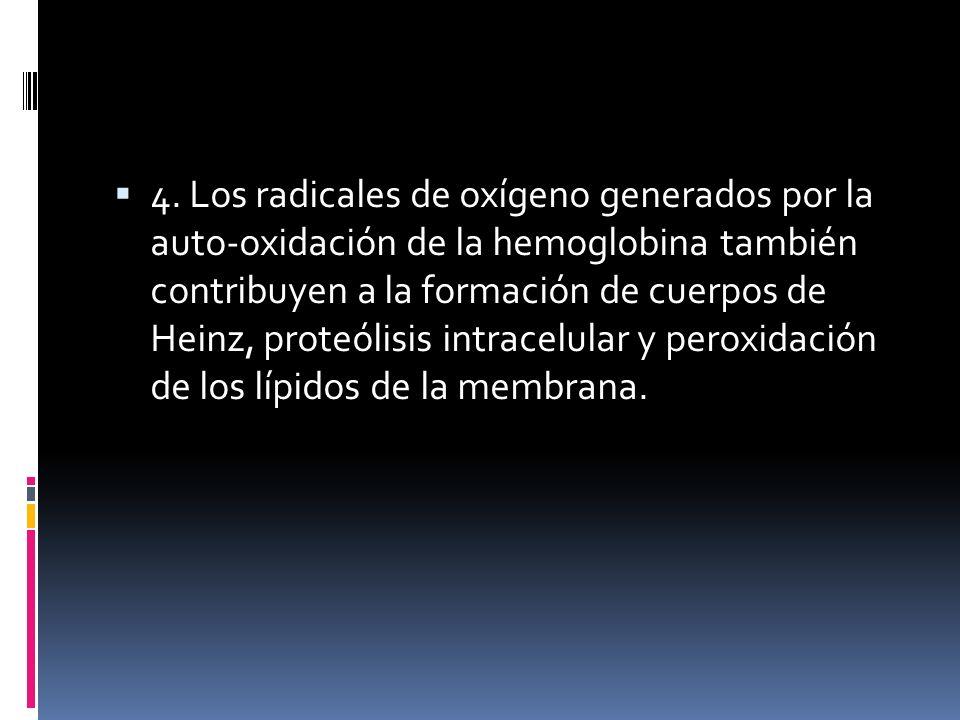 4. Los radicales de oxígeno generados por la auto-oxidación de la hemoglobina también contribuyen a la formación de cuerpos de Heinz, proteólisis intr