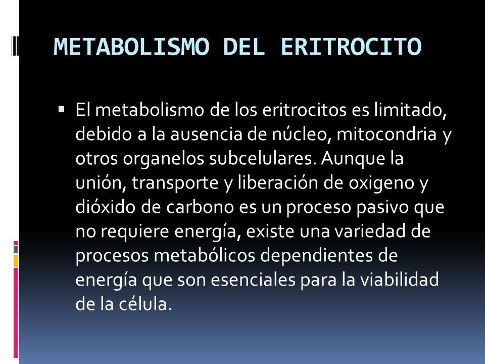 METABOLISMO DEL ERITROCITO El metabolismo de los eritrocitos es limitado, debido a la ausencia de núcleo, mitocondria y otros organelos subcelulares.