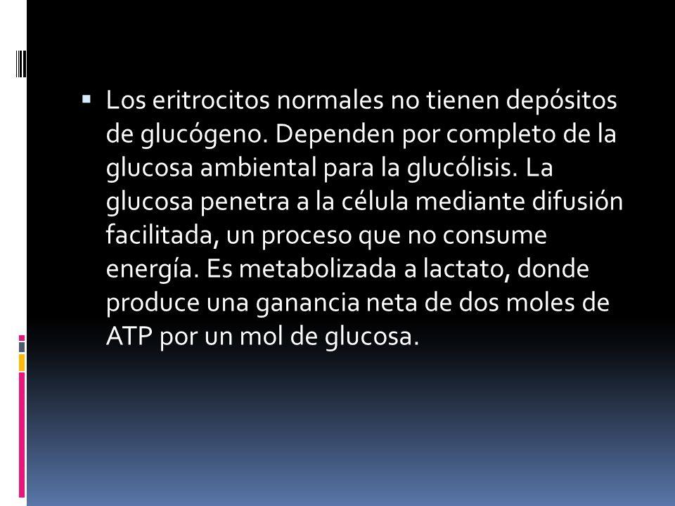 Los eritrocitos normales no tienen depósitos de glucógeno. Dependen por completo de la glucosa ambiental para la glucólisis. La glucosa penetra a la c