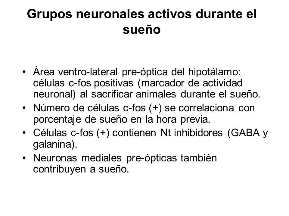 Grupos neuronales activos durante el sueño Área ventro-lateral pre-óptica del hipotálamo: células c-fos positivas (marcador de actividad neuronal) al
