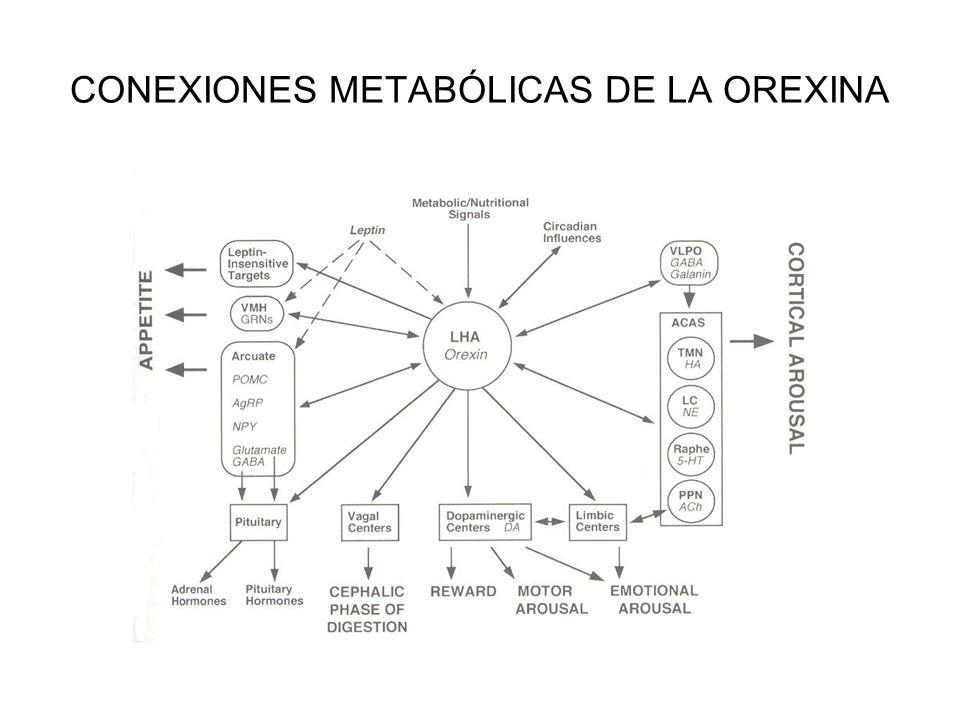 CONEXIONES METABÓLICAS DE LA OREXINA
