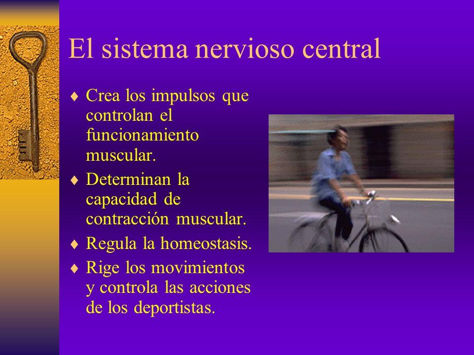 Factores que influyen en el rendimiento en resistencia El S.N.C. Tipo de fibra. Reservas de energía. Capacidades volitivas o psicólogicas. Actividad e
