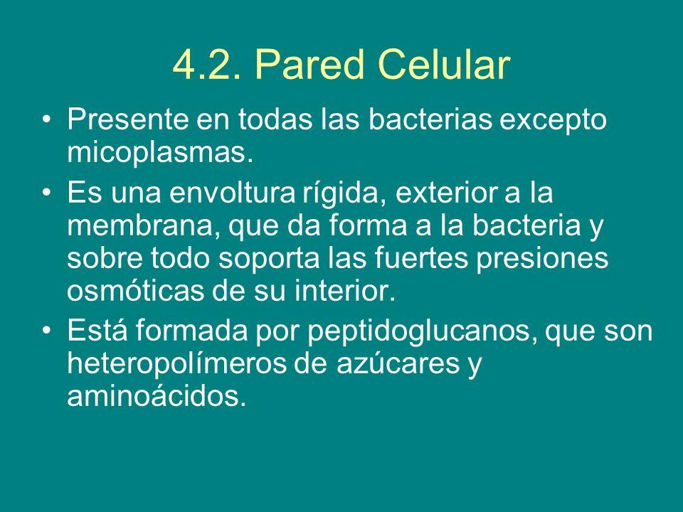 4.2. Pared Celular Presente en todas las bacterias excepto micoplasmas. Es una envoltura rígida, exterior a la membrana, que da forma a la bacteria y