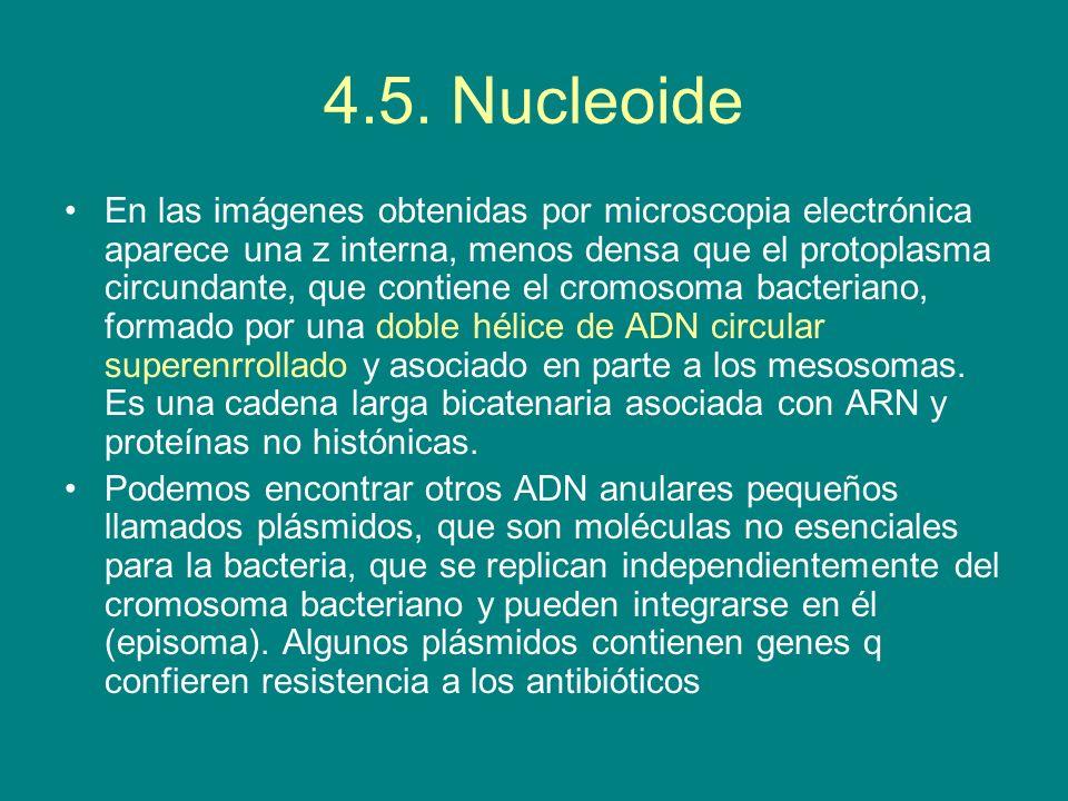 4.5. Nucleoide En las imágenes obtenidas por microscopia electrónica aparece una z interna, menos densa que el protoplasma circundante, que contiene e