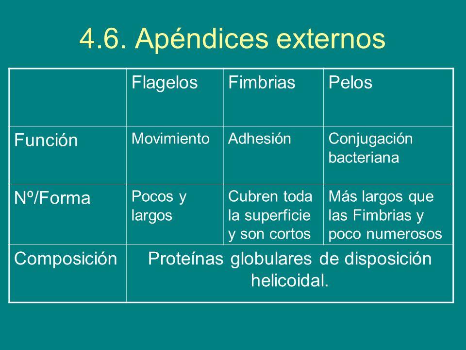 4.6. Apéndices externos FlagelosFimbriasPelos Función MovimientoAdhesiónConjugación bacteriana Nº/Forma Pocos y largos Cubren toda la superficie y son