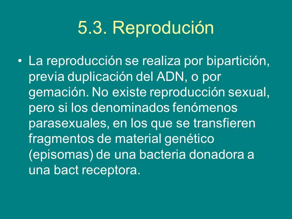 5.3. Reprodución La reproducción se realiza por bipartición, previa duplicación del ADN, o por gemación. No existe reproducción sexual, pero si los de